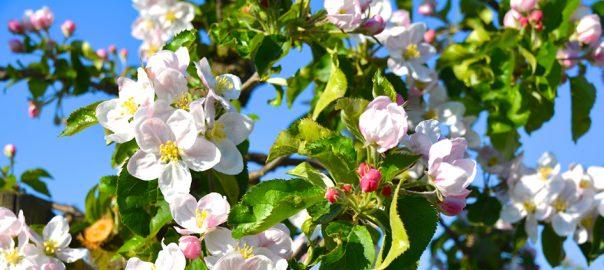 Radtour zur Apfelblüte im Alten Land