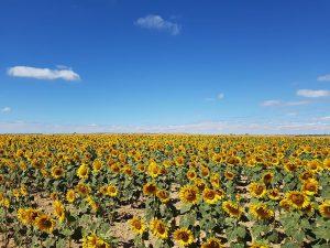Sonnenblumen am Jakobsweg